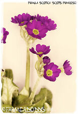 Primula scotica 'Scots Primrose' 100+ SEEDS [RARE NATIVE WILD FLOWER!]