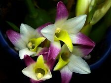 HARD TO  FIND FRAGRANT COELIA BELLA ORCHID in FLOWER