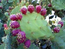 ORGANIC PRICKLY PEAR CACTUS LUMINESCENCE SERUM VITAMIN A SUPER MOISTURE DETOXING