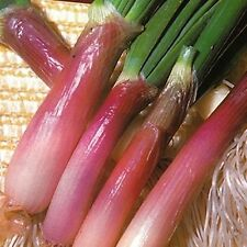 RED BUNCHING ONION 250 SEEDS WONDERFUL FLAVOR GREAT WHEN PAIRED WITH THE WHITE