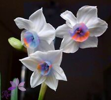 100 pcs Mixed Colors Daffodil Narcissus Flower Bonsai Seeds Home Garden Decor