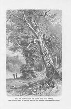 Efeu mit Kletterwurzeln am Stamm einer Eiche DRUCK von 1898 Botanik