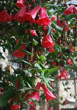 CHILEAN BELLFLOWER * COPIHUE * Lapageria rosea * OUTSTANDING BLOOM PERIOD * SEED