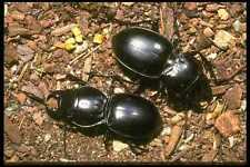 035129 Ground Beetles Sonoran Desert Cochise Arizona A4 Photo Print