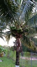 1 Coconut Palm Tree sprouted (Malayan Green )