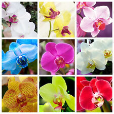 100 Pcs Mixed Colors Phalaenopsis Seeds Bonsai Balcony Flower Orchid Seeds