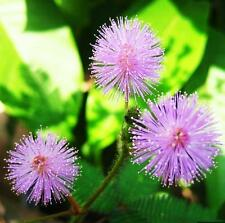 New 1 Pack 30 Seeds Foliage Mimosa Pudica Sensitive Garden Plant seed TSCA