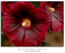 GIANT SCARLET RED DANISH HOLLYHOCK FLOWER SEEDS 50+