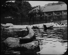 Glass Magic Lantern Slide THE SEA LION POND C1890 PHOTO  ZOOLOGICAL GARDENS