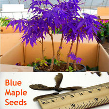10 Rare Blue Maple Seeds Maple Seeds Bonsai Tree Plants Home Decor