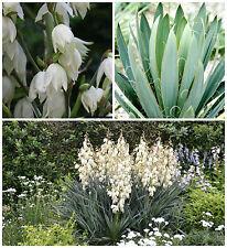 10 semi di Yucca filamentosa, piante succulente,seed succulents