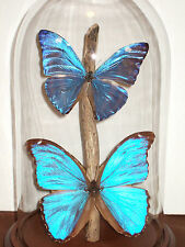 Morpho Butterfly Dome #1