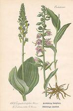 Listera ovata Großes Zweiblatt Violette Stendelwurz THOME Lithographie von 1886