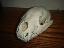 Wolverine Skull mount/horns/taxidermy/hunting/home decor/