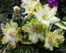 Ozhidanie Vesny~African Violet~Plant~Russsian Variety