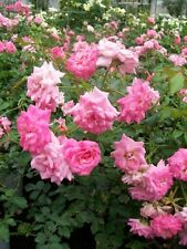 Sweet Drift ® PP #21,612 Pink Roses 1 Gal. Ground Cover Double Flower Rose Bush