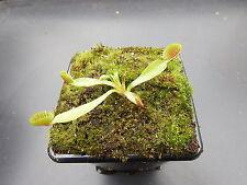 Venus Fly Trampa Dionaea Muscipula Casa Catada Trampa Cultivo/Jardín de Plantas