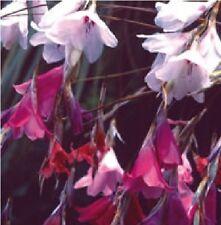FLOWER - DIERAMA SPECIES - 10 SEEDS