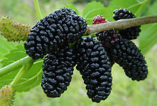 40 American Mulberry Tree Seed Non GMO Heirloom Fruit Trees Seeds