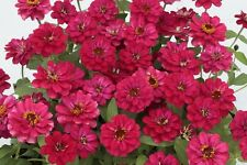 50 Zinnia Seeds Profusion Double Deep Hot Cherry