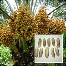 RARE DATE SEEDS: KL-1 variety Best of Thai Date palms, Eat fresh from tree Sweet