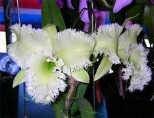 +SALE+ Bc. Golf Green 'Hair Pig' JC/AOS Cattleya ORCHID PLANT SEEDLINGS ++SALE++