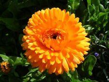 150 Semi di CALENDULA Double Pacific Beauty/CALENDULA Officinalis/FIORE GIALLO