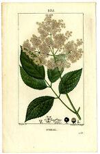 Décoration Botanique Sureau Gravure Originale XIXe Chaumeton 1ère Edition