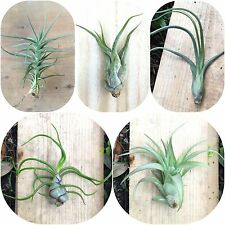 BIG PACK! 5 Large Size Tillandsia Air Plants - Assorted, Pack, Collection