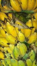 Musa balbisiana Gigantea, Banana, tropical feeling, yellow fruits, 10 seeds
