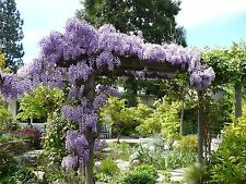 1 Blue Chinese Wisteria plant(Wisteria sinensis)-6  inches tall-$4.99  each