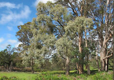 Broad Leafed or Blue Peppermint  (Eucalyptus dives) - 100 Seed