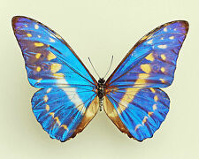 MORPHO CYPRIS CYPRIS*male A1-/A-* COLOMBIA