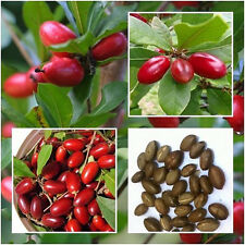 Rare Miracle Fruit Synsepalum Dulcificum Seeds Tropical Fruit Organic Seed 10pcs