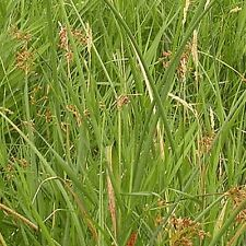 1000 Great Bulrush Native Grass Seeds - Gold Vault Jumbo Seed Packet