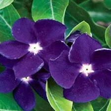 40+ FRAGRANT DEEP PURPLE PERIWINKLE  FLOWER SEEDS / ANNUAL
