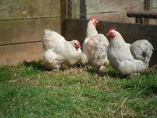 6 Exhibition Quality Porcelain Millefleur Pekin Bantam Hatching Eggs A&J Poultry