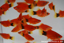 (6) Red Mickey Mouse Platies - Livebearer Platy Guppy Swordtail Tropical Fish