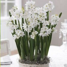 5 PAPERWHITE Narcissus Ziva  Bulbs- Fragrant,Snow White flowers, Now Shipping