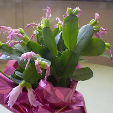 Light Pink Easter Cactus Cutting, Christmas Rhipsalidopsis, Schlumbergera Plant