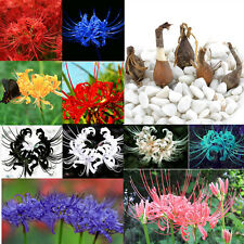 5 Bulbs Lycoris Radiata, Spider lily, Lycoris Bulb Seeds Random 5x New EY