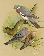 Wood Pigeon, Stock Pigeon, Turtle Dove - Vintage 1965 Bird Print by Basil Ede