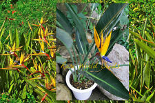 VERY RARE!! Dwarf Bird of Paradise Strelitzia reginae 'Mandela's Gold' SEEDS.