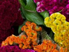 50+ COCKSCOMB MULTI-COLORED MIX / CELOSIA FLOWER SEEDS / RESEEDING ANNUAL