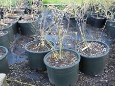 Elliott Blueberry Plants