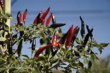 Pepper Seeds - BLACK COBRA CHILI - Hot!!!- Rare & Unusual - Gmo Free - 10 Seeds