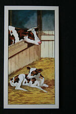 Guernsey Cow  Calf    Illustrated Colour Card   VGC / EXC