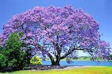 BACK IN STOCK, BULK BUY 100 + FRESH JACARANDAH TREE SEEDS,STUNNING FLOWERS