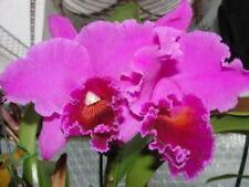 BIN) Mem. Grant Eichler's 'Lennette' Mericlone Cattleya Orchid