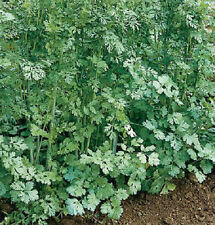 Cilantro Santo 50 Seeds Herb & Spice in One! Seeds= Coriander, Leaves= Cilantro